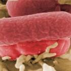 K nákaze novou infekcí stačí pouhých sto zárodků, u salmonely miliónkrát víc