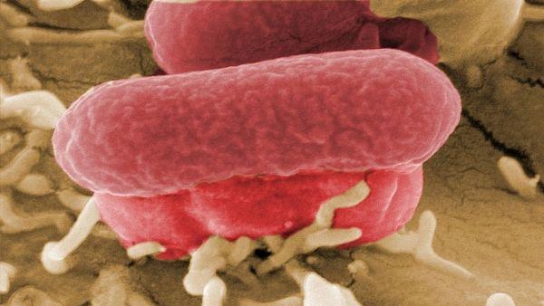 EHEC killer bacteria