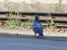 pigeon_by_krlsvbd-d3fqzvc